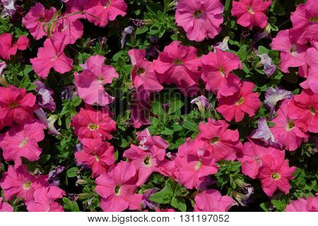 Petunia flower on a flowerbed