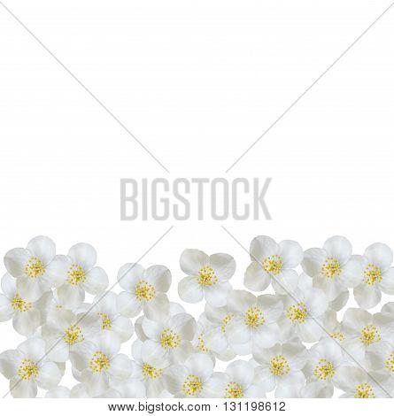 White jasmine flower. jasmine flowers isolated on white background.
