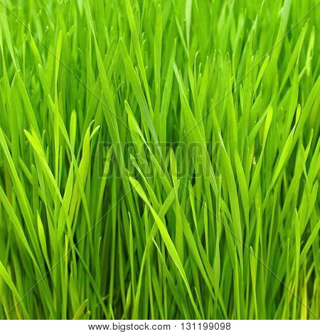 Freshly Grown Organic Wheatgrass Ready to Harvest