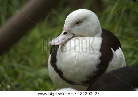 this is a close up of a Radjah duck