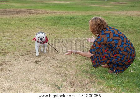 English Bulldog retrieving the thrown stick at park.
