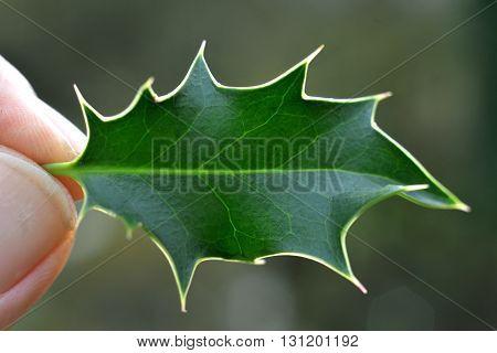 Backlit holly leaf held in fingertips. a