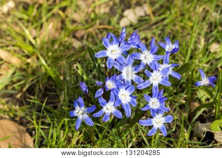 Blue And White Scilla Flowers In Spring
