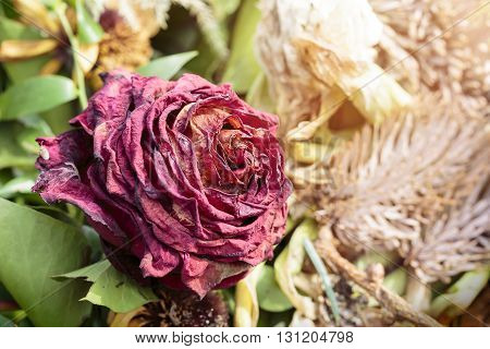 macro of a withered red rose in summer