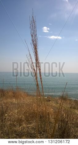 ear of grass on the edge overlooking the sea