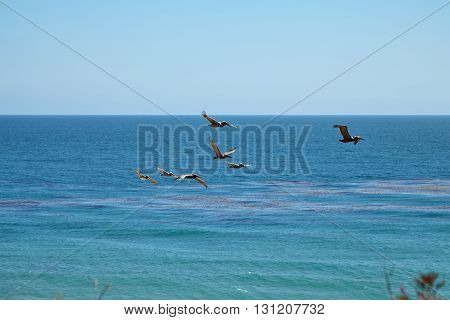 Brown pelicans flying over the ocean, Malibu, California