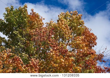 fall tree with colors and a brilliant blue sky in background.