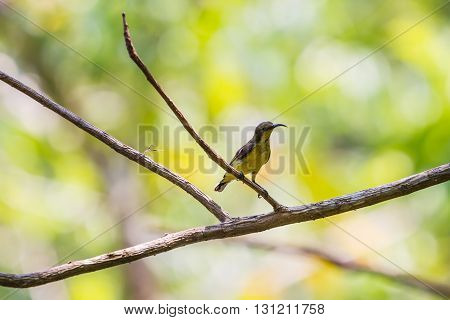 Olive-backed Sunbird, Yellow-bellied Sunbird
