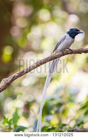 Asian Paradise Flycatcher Perching On A Branch
