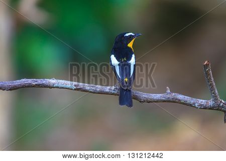 Male Yellow-rumped Flycatcher (ficedula Zanthopygia) In Nature