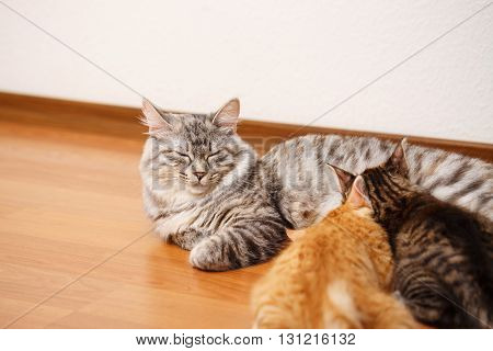 Kuril Bobtail cat feeds kittens. Thoroughbred cat. Cute and funny kitten. Pet.
