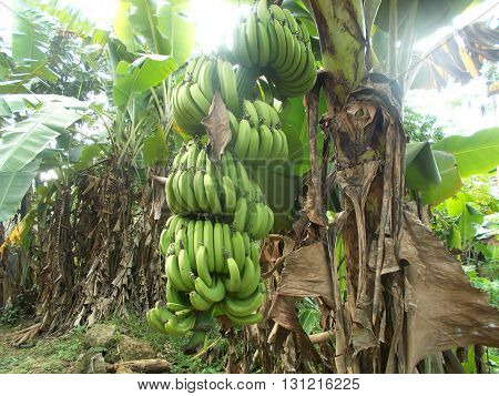 Banana tree with a bunch of banana fruit on the banana garden, fresh and old banana.