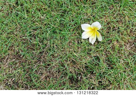 white and yellow  frangipani on green grass