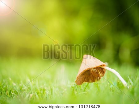 Close up of little mushroom look like umbrella with dew in garden on the sunlight morning and lens flare effect Shallow depth of field Copy Space Side View