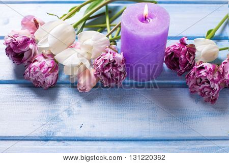 White and pink spring tulips and violet candle on blue wooden background. Selective focus. Place for text.