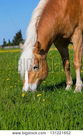 Head Of A Haflinger Horse On The Meadow.