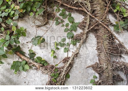 background nature leaves creeping plant roots wall