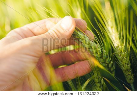 Responsible farming farmer controlling wheat plants growth in cultivated agricultural field selective focus