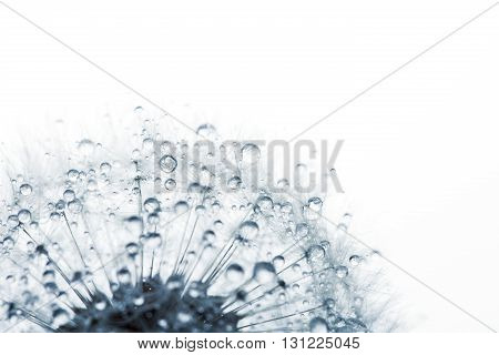 Dandelion in the dew drops on white background, macro. Place for text. Nature and eco concept.