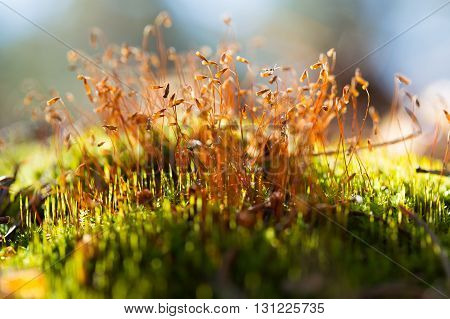 Brown macro moss seeds on the grass