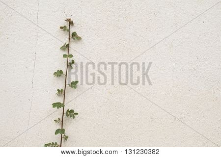 background surface old wall white have creeping plant