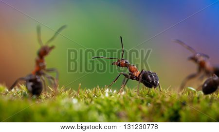 Ants on the moss. Red forest ants. Beautiful rainbow background