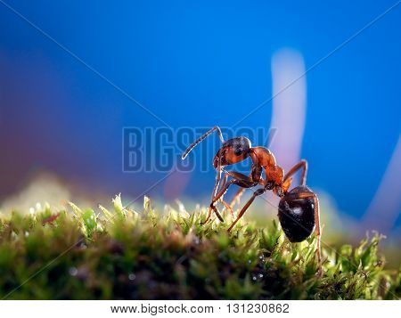 Portrait of an ant. Macro. Ant red forest. Moss green. Background of bright blue