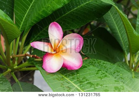 Beautiful Sweet Pink Flower Plumeria And Fresh Green Leaf With Rain Water Drop In Happy Morning Mood
