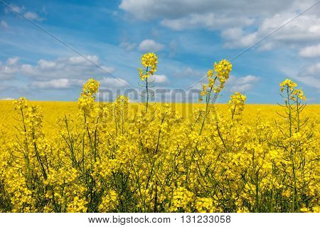 Detail Of Yellow Rapeseed Flowers And Blue Sky With White Clouds