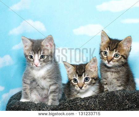 Three Tabby Kittens Sitting On A Black And Gray Bed