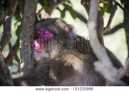 Kyoto Japan - October 23: A sleepy monkey hanging from a tree in Arashiyama Park