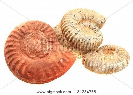 Ammonite Fossil Isolated