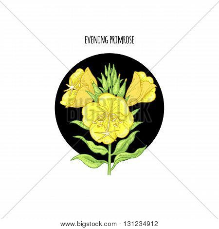 Vector illustration of evening primrose flower in a black circle on a white background. Design of packaging cosmetics shampoos health supplements.