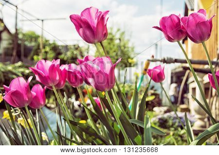 Blooming pink tulips planted in the spring garden. Seasonal natural scene. Hose pipe. Cultivating flowers. Beauty in nature. House and garden.