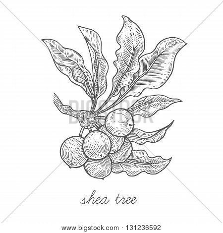 Shea tree. Vector plant isolated on white background. The concept of graphic image of medical plants/herbs/flowers/fruits/roots. Designed to create package of health and beauty natural products.