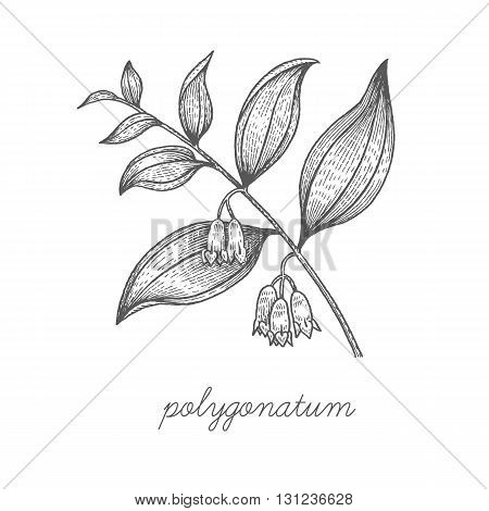 Polygonatum. Vector plant isolated on white background. The concept of graphic image of medical plants/herbs/flowers/fruits/roots. Designed to create package of health and beauty natural products.