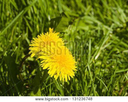 Yellow flowers Common dandelion Taraxacum officinale close-up soft edges selective focus shallow DOF