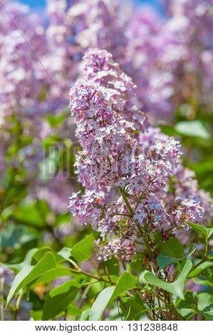 Green branch with spring lilac flowers as natural background