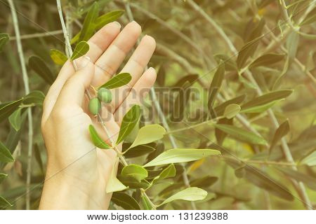Female hand holding olive tree branch with two unripe olives
