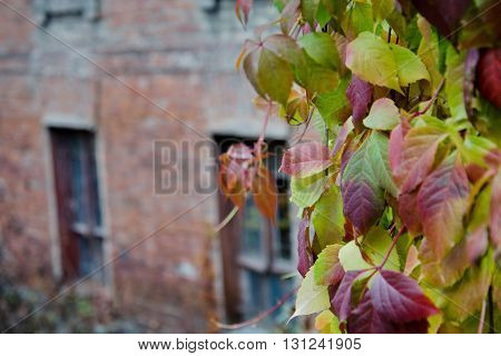 Autumn leaves of wild red grapes on background of an old brick wall building.