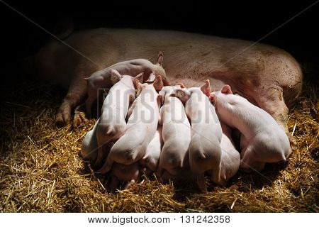 Little piglets suckling their mother closeup picture