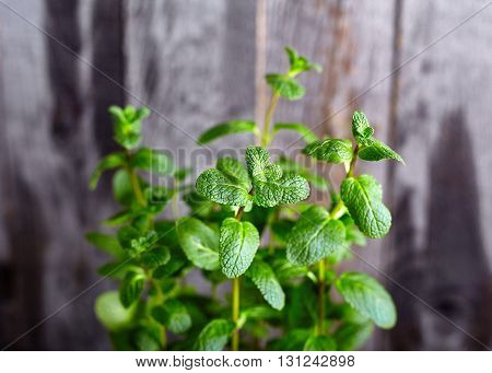 Kitchen Mint bush on old rustic wood background