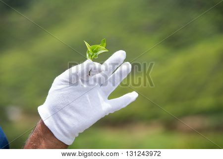 Hand in a white glove holding the tea leaves