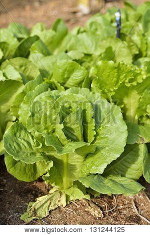 Growth of Cos Lettuce Romaine Lettuce in field.