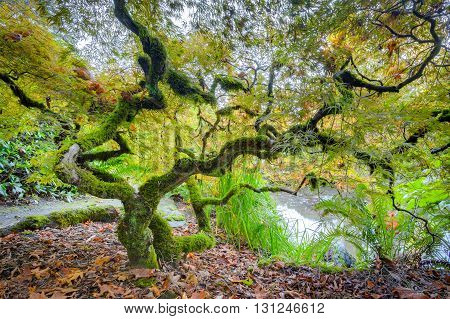 Amazing Green Japanese Maple Tree in autumn, Seatle