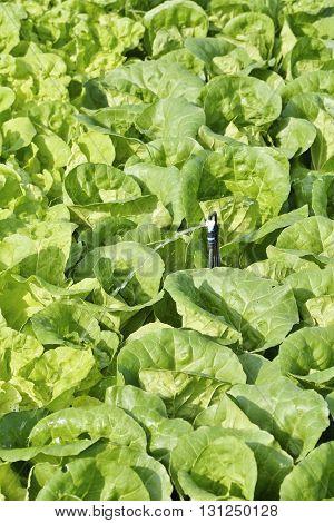 Watering a field of Cos Lettuce Romaine Lettuce.
