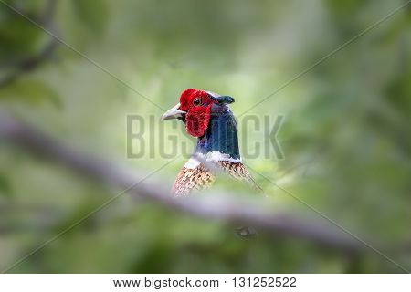 Male pheasant bird hiding in the undergrowth
