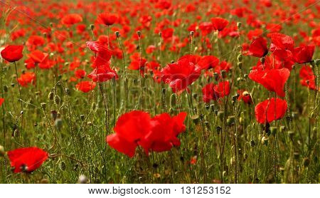 Field of wild red poppies in late spring time