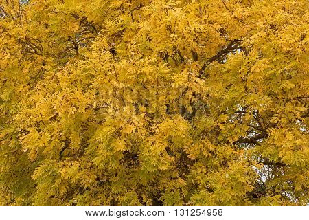 Closeup of deciduous Ash tree (Fraxinus) with leaves turning to yellow Autumn shade in Australia
