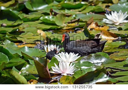 Dusky moorhen mother feeding her chick in waterlily pond
